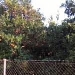 Drzewa pomarańczowe, ich owoce można zrywać praktycznie wszędzie!